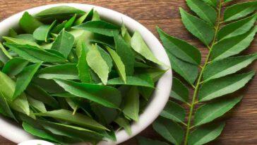 Les feuilles de curry les herbes du sud de l'Inde avec un pouvoir d'étoile majeur
