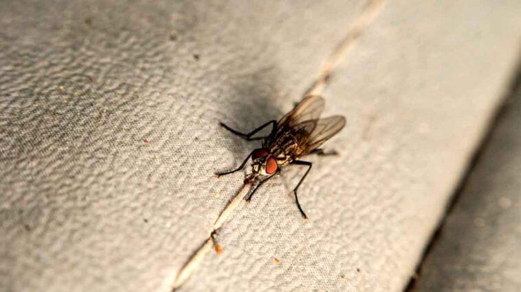 Mouches dans la maison voici des astuces naturelles hyper efficaces pour s'en débarrasser une bonne fois pour toutes